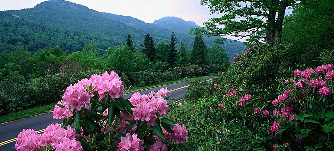 Flowers bloom along the blue ridge parkway in the mountains of Western North Carolina.