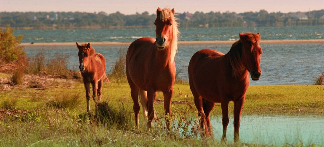 Explores the Spanish history of the Shackleford Banks horses, the oldest documented horse population in North America.  USA Travel Guide